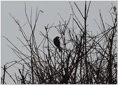 Grey December Morning (MaxUndFriedel) Tags: morning winter sky bird grey sparrow