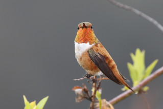 Migrant Male Rufous Hummingbird