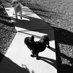 12-03-15 (2230) Good Morning! (Lainey1) Tags: leica bw dog monochrome oz taz bulldog frenchie frenchbulldog 365 visitor foxterrier ozzy 2230 frogdog lainey1 zendog 120315 leicadlux4 elainedudzinski ozzythefrenchie theseventhyear 2230oz