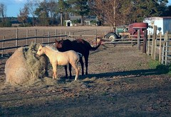 Horses (ertolima) Tags: ranch horse tractor field rural fence farm pony hay