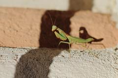 Praying Mantis (Steve Boer) Tags: california mantis european praying chinese carolina animalplanet prayingmantis palmdesert stagmomantiscarolina