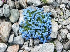 Nontiscordardimé (giorgiorodano46) Tags: myosotis valpelline luglio2007 nontiscordardimé fioridimontagna rifugionacamuli combadoren