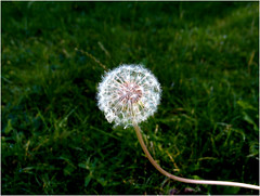 Day 271 Dandelion (Dominic@Caterham) Tags: dandelion grass