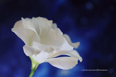 Dreamy Blue (Kay Kochenderfer Photography) Tags: flowers flowers2016 dreamy dreams bokeh romantic soft blue blues whiteflower white flower with background whiteflowerwithbluebackground the future belongs those who believe beauty their  eleanor roosevelt