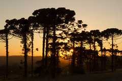 ARAUCARIAS 3 (tahiszanelli) Tags: sunrise orange sky nature light tree dof morning landscape skyline silhouete