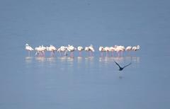 IMG_0052y (gzammarchi) Tags: italia paesaggio natura ravenna santalberto passoprimaro parcodeltadelpo voltascirocco lago animale fenicottero stormo riflesso monocrome