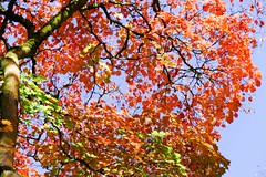 Red and Blue (yattondave) Tags: autumncolours fall trees leaves westonbirt arboretum