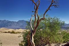 An Old Mesquite Tree and Nearby Creosote Bush (Death Valley National Park) (thor_mark ) Tags: amaragosarange blueskies capturenx2edited colorefexpro creosotebush day4 deathvalleynationalpark desertlandscape dunes greatbasinranges lookingne mesquiteflatsanddunes mountains mountainsindistance mountainsoffindistance nature nikond800e oldmesquitetree project365 sand sanddunes thimblepeak triptodeathvalleyandcalifornia westgreatbasinranges california unitedstates