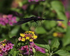 Butterfly_SAF4078 (sara97) Tags: butterfly flyinginsect insect missouri nature outdoors photobysaraannefinke pollinator saintlouis swallowtail copyright2016saraannefinke