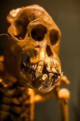 Old Timer (Thomas Hawk) Tags: america berkeley cal california eastbay photowalk090111 photowalk09012011 uc ucberkeley ucb usa unitedstates unitedstatesofamerica skeleton