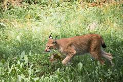 Lynx (Cloudtail the Snow Leopard) Tags: luchs wildpark bad mergentheim tier animal mammal sugetier cat katze feline lynx