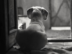 (sopo_chinchaladze) Tags: dog blackandwithe helios44m4 animal pet