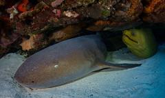Reunited!!! (jcl8888) Tags: shark eel ocean sea nurseshark predator couple pair green gray nikon love fisheye wide angle nature travel adventure wildlife coral reef saltwater