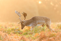 Morning mist (lsimons58) Tags: deer rutting sunrise wild animal autumn fall beauty stag bracken nature mist fog wildlife male norning light peaceful