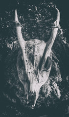 Muntjac Skull (nigdawphotography) Tags: muntjac deer stag antlers animal mammal nature wildlife male skull isolated