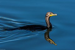 Still waters (Explored) (Fred Roe) Tags: lca71d6993 nikond7100 nikkorafs80400mmf4556ged nikonafsteleconvertertc14eii nature wildlife cormorant birds birding birdwatcher birdwatching doublecrestedcormorant phalacrocoraxauritus peacevalleypark