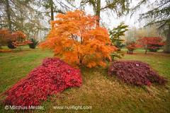 Westonbirt 2016 (nuvolozzo) Tags: westonbirt arboretum cotswolds autumn fall colours colors tree trees japanese maple silk wood