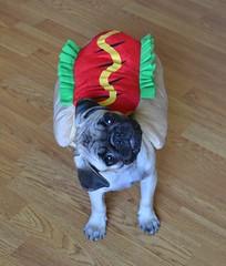 Boo The Hotdog Pug Head Tilt (DaPuglet) Tags: pug pugs dog dogs puppy puppies pet pets animal animals hotdog costume halloween bun wiener