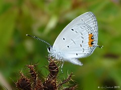 Indian cupid (LPJC) Tags: kerala india 2016 lpjc butterfly indiancupid evereslacturnus