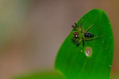 Green jump spider (mcvmjr1971) Tags: 2016 d7000 nikon brasil f28 mmoraes niteri riodejaneiro niteroi curtoniteroi pendotiba diego sigma150mmmacro