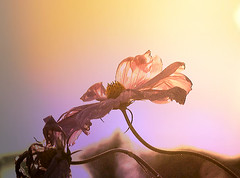 'In The Right Light, At The Right Time. (genevieve van doren) Tags: cosmos flower fleur light lumire autumn automne garden jardin