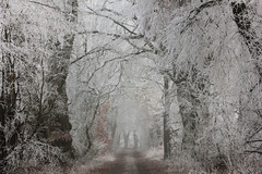 Frost (nettisrb) Tags: frost allee weg path linden wald waldweg linde landscape landschaft nature forrest bume germany tree