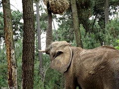 Elephant - Zoo de la Flche (Noemie.C Photo) Tags: elefante elephant zoo arbres trees green vert nature nourriture trompe dfenses animal grand gros big zoodelaflche