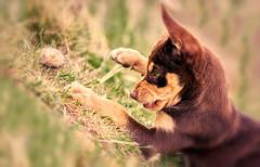 Soda: (AutisticReaction) Tags: soda dog puppy bestfriend australian kelpie chocolatetan fa77 pentax k3