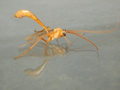 Ichneumon wasp (gldearman) Tags: insect wasp ichneumon hymenoptera ichneumonidae ichneumonoidea