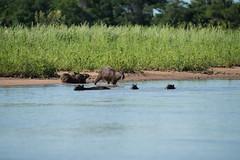 DSC_1344.jpg (riandar) Tags: brazil pantanal capybara wildlife mammals safari nature jaguarflotel