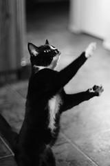 Mitsy jumps (dylan583) Tags: smctakumar1450 m42 takumar sonydslra700 manualexposure wideopen f14 manualfocus adapter cat animal pet blackandwhite blackwhite sonya700 naturallight