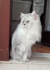 Romeo chinchilla persian cat (romeosilverpersian) Tags: longhairedcats persiancats persiancat silvershaded silvercat gattidirazza gatto gatti gattipersiani pet pets animalidomestici animali animals cat cats fluffycats