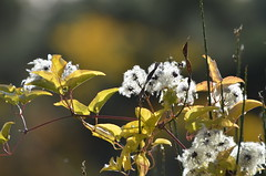 Legend of the fall (dfromonteil) Tags: fall automne autumn macro bokeh light lumire sunlight nature vegetal arbuste vert green white blanc plant plante