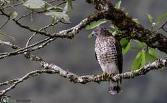 BUTEO PLATYPTERUS (Jaime Andres Herrera Villarreal) Tags: roja nikond800 yosoynikon yopajareo birdwatching
