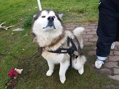 Alaskan Malamute dog (Donald Morrison) Tags: kirkenes hurtigruten mslofoten cruise ship norway malamute dog alaskanmalamute