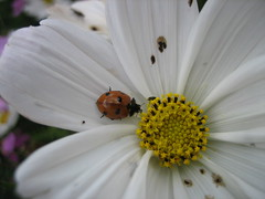 IMG_7508 (dianangelah) Tags: marienkäfer coccinelle ladybird nature natur insekt insect