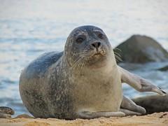 Harbour Seal (mr_snipsnap) Tags: seal sea ocean beach norfolk nature wildlife coast sand fauna