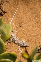 Meroles reticulatus - Reticulated Desert Lizard (Tyrone Ping) Tags: meroles reticulatus namib namibia desert lizard reticulated canon herps herping close up macro situ canon7d 100mmmacrof28 wwwtyronepingcoza tyroneping wildlife wildherps wildanimals