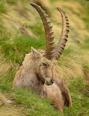 Alpin Ibex (marypink) Tags: parconazionalegranparadiso ceresolereale piemonte valleorco mammalia artiodactyla bovidae caprinae nikond7200 nikkor80400mmf4556 stambecco