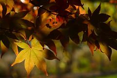 Acer palmatum Versicolor 3 (wundoroo) Tags: nybg newyorkbotanicalgarden newyork bronx fall autumn november leaves maple acer