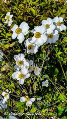 weie Anemone (Bernsteindrache7) Tags: autumn white color city flora fauna flower garden green bloom blossom blume handy outdoor landscape
