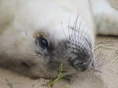 Seal Pup (mr_snipsnap) Tags: grey seal pup norfolk mammal animal coast beach sand nature wildlife fauna baby