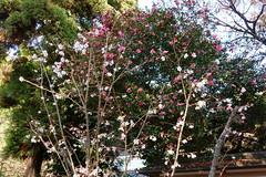 DSC02844 (MrSUIZOU) Tags: 京都 紅葉 北野天満宮 平野神社 十月桜
