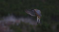 nov30 2016 5 (Delena Jane) Tags: delenajane inflight dove macro mourningdove pentaxart bird conceptionbaysouth canada newfoundland ngc
