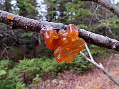 Jelly Fungus (clickclique) Tags: tree branch jelly fungus jellyfungus brown green orange forest fall outdoors outside nature trail inexplore
