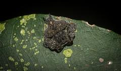 Arkys alatus (dustaway) Tags: arthropoda arachnida araneae araneomorphae australianspiders rainforest rotarypark rprr lismore nature northernrivers nsw australia arkyidae arkysalatus wingedarkys ambushhunter