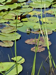 Wheaton, IL, Cantigny Park, Idea Garden, Frog in a Lily Pad Pond (Mary Warren (7.6+ Million Views)) Tags: wheatonil cantignypark nature fauna flora green plants garden pond water grasses lilypads animal amphibian frog