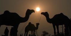 Camels ready for Fair!!! (bhavit.godiwala) Tags: pushkar pushkar2016 camelfair camels rajasthan ngc twop nikon bhavit fair