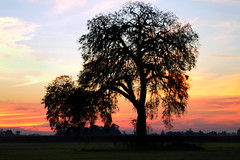 On The Way Home (JINfotografo) Tags: waterloo california centralvalley twilight sunset tree trees nikon d7000 northerncalifornia