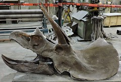 Triceratops (Will S.) Tags: mypics quintewest trenton ontario canada researchcastinginternational rci skeletons reconstructions fossils specimens dinosaurs